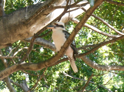 A Kookaburra on a Hills Fig tree near the stage. Even birds enjoy the tunefulness of The Lounge Bar Lotharios because we don't hurt their delicate ears. Indeed, Kookaburras have good ears but they tend to hear things differently to us. Kookaburras recognise and remember something akin to absolute pitch whereas humans perceive sounds via relative pitch. Very few humans can hear and remember absolute pitch. Relative pitch however allows us to hear a tune in one octave and still recognise the tune in a different octave. While Kookaburras can't do this, they can recognise 'timbre' (a fundamental note combined with harmonies). Recognising timbre and harmonic variations gives Kookaburras great versatility in the sounds that they can respond to, and in some cases reproduce. They also hear shorter notes than we can. Humans process sounds in bytes about 1/20 of a second long whereas Kookaburras discriminate up to 1/200 of a second. This means where we hear one sound only, a Kooka may hear as many as ten separate notes. Some birds such as Pigeons can hear much lower sounds than us. Kookaburras can be music buffs and can distinguish between human composers such as Bach and Stravinsky. Seems this Kooka didn't mind our Bach and bytes at all!