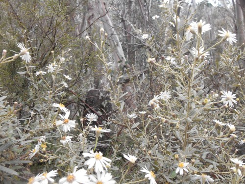 Alpine flannel flowers halfway up the mountain.