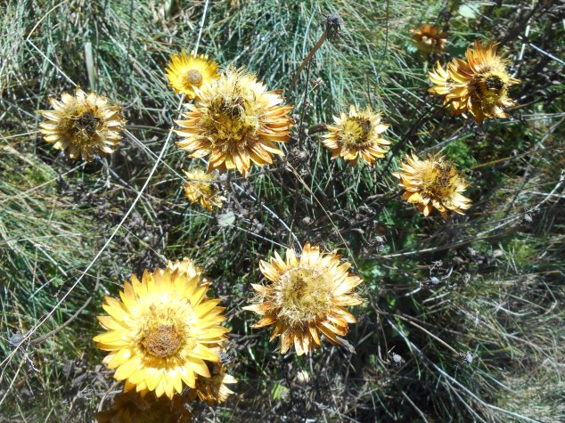 Paper daisies in the middle of an alpine meadow.