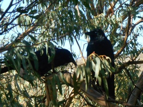 ...and fauna. Black crows, and I just missed out taking a pic of a small flock of black cockatoos.