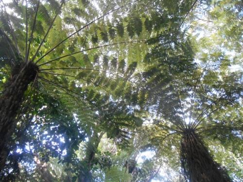 Fern forest in Waiheke suburbia