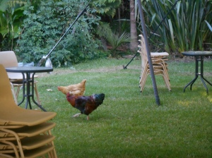 The chooks at Rangihoua doing a last minute clean-up before seating for the grand finale is set up.
