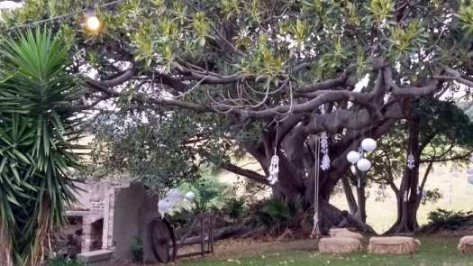 The Illawarra is famous for its giant Port Jackson fig trees. The area was once a rainforest. The big wedding fig tree at Bush Bank.